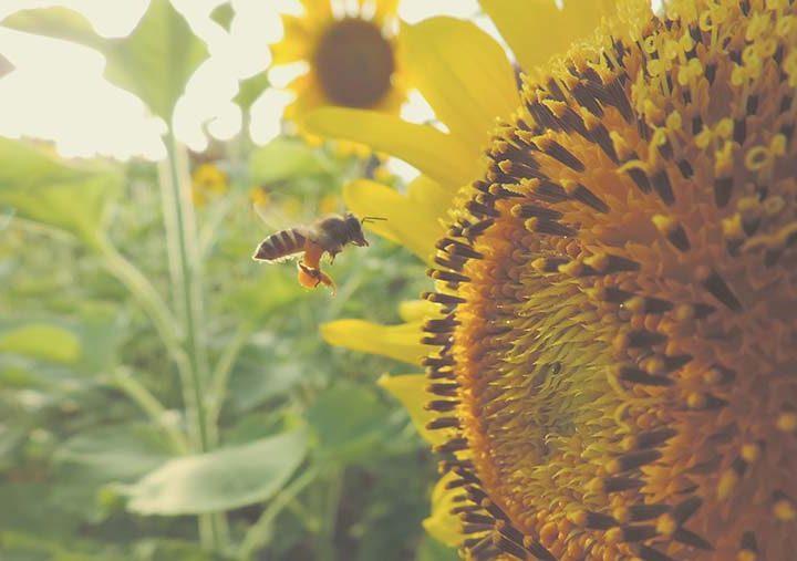 Mistura de flores para abelhas