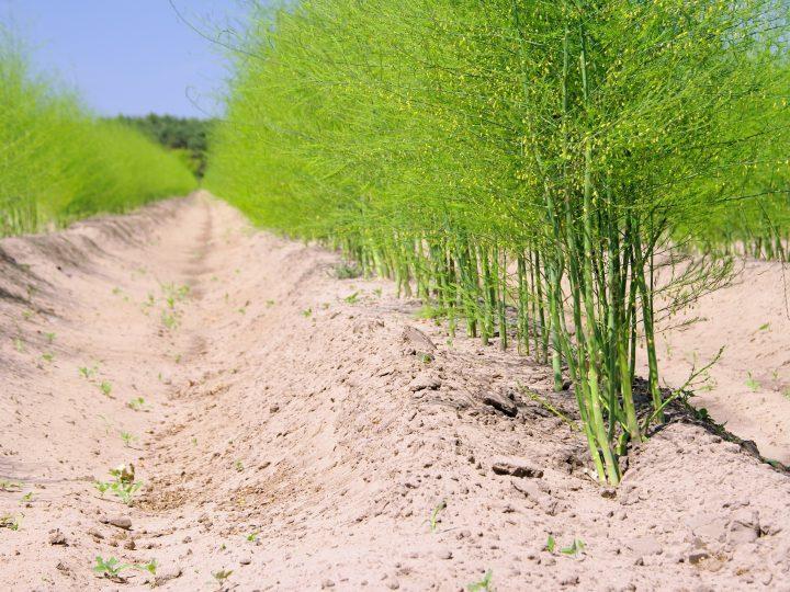 Cultivo de espargos brancos